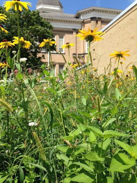 Hubbard pollinator garde Rudbeckia blooming