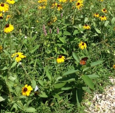 Hubbard Pollinator Garden Monarch in milkweed